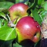 http://www.infosad.ru/plantscatalog/fruitandberries/fruitgarden/img080/s_720.jpg