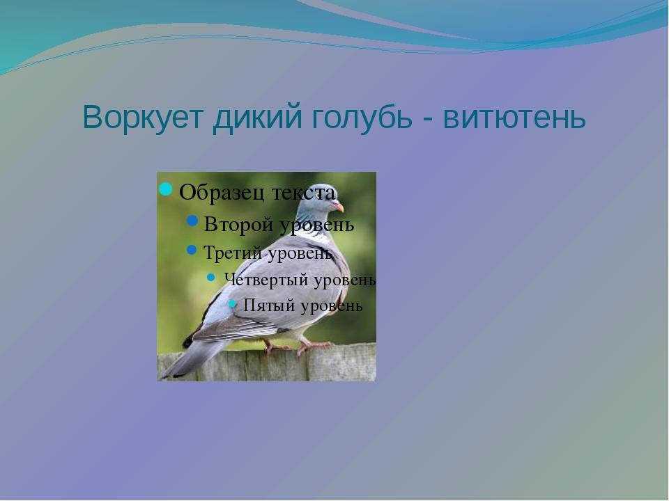 Воркует дикий голубь - витютень