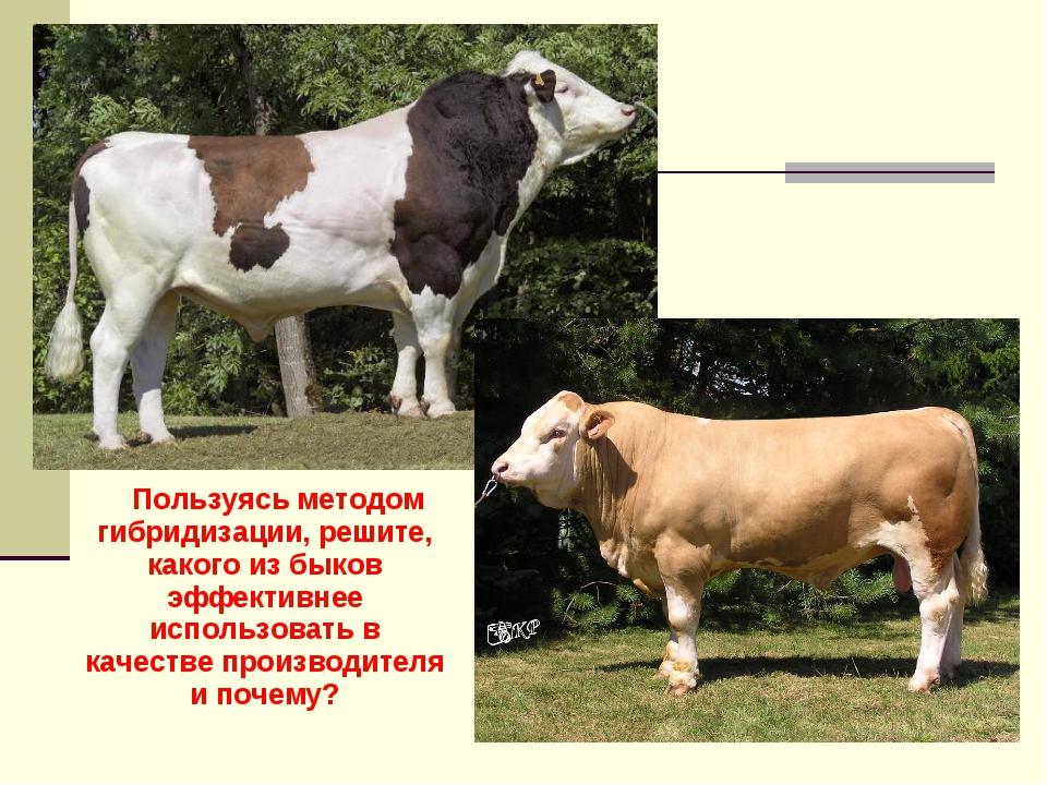 Пользуясь методом гибридизации, решите, какого из быков эффективнее использо...