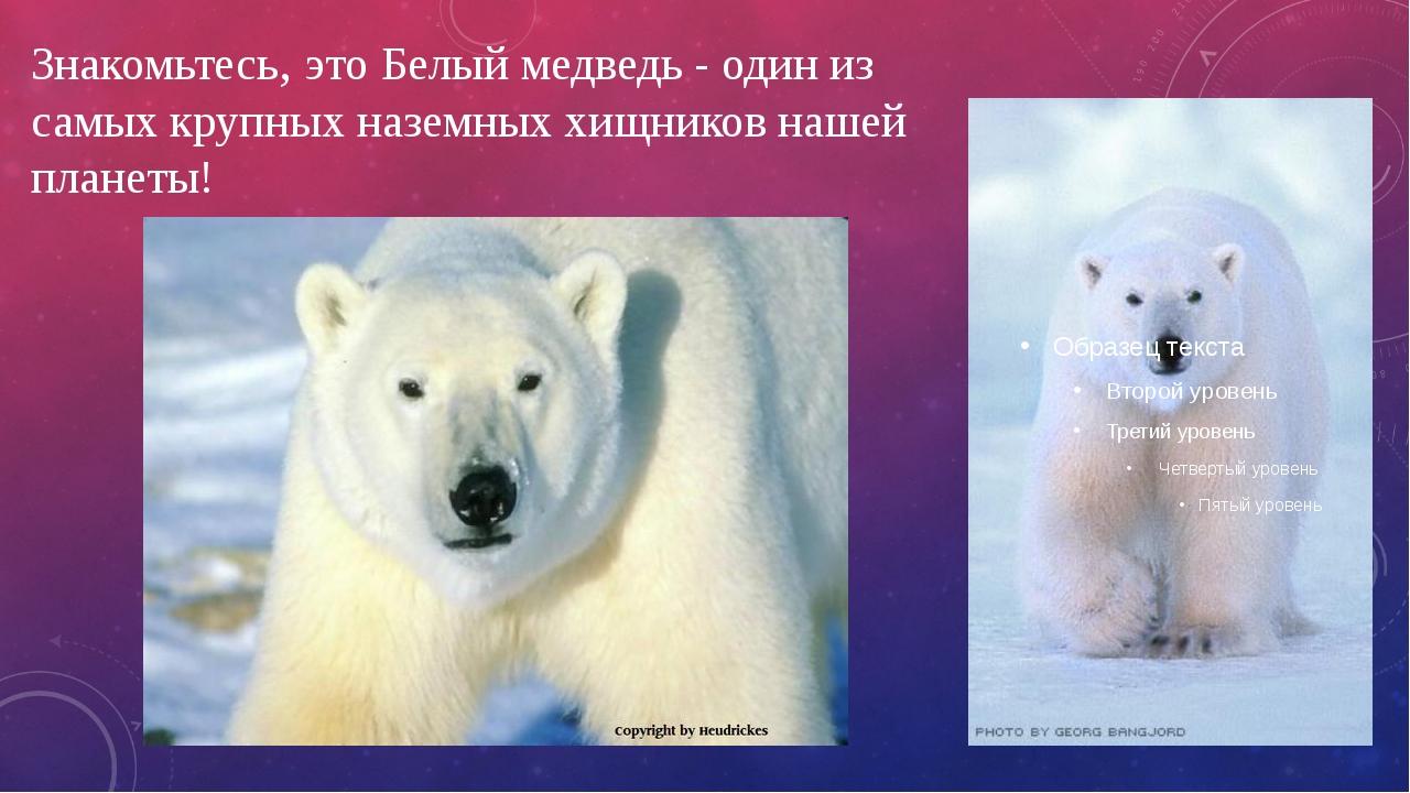 Знакомьтесь, это Белый медведь - один из самых крупных наземныххищников наше...