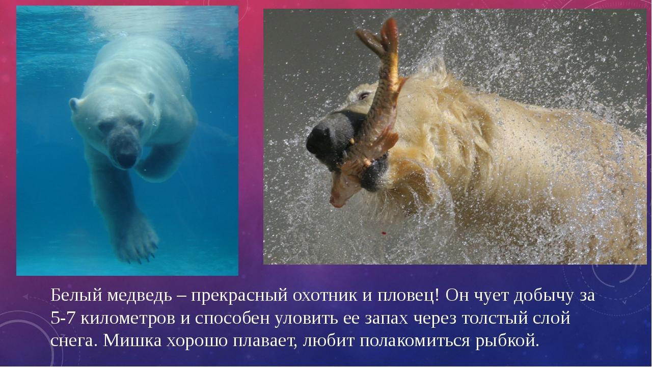 Белый медведь – прекрасный охотник и пловец! Он чует добычу за 5-7 километров...