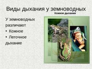 Виды дыхания у земноводных У земноводных различают Кожное Легочное дыхание Ко