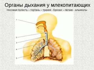 Органы дыхания у млекопитающих Носовая полость – гортань – трахея - бронхи –