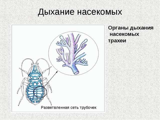 Дыхание насекомых Органы дыхания насекомых трахеи Разветвленная сеть трубочек
