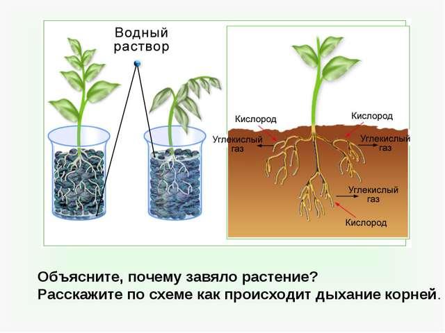Объясните, почему завяло растение? Расскажите по схеме как происходит дыхани...