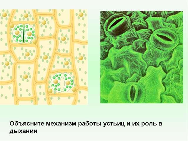 Объясните механизм работы устьиц и их роль в дыхании