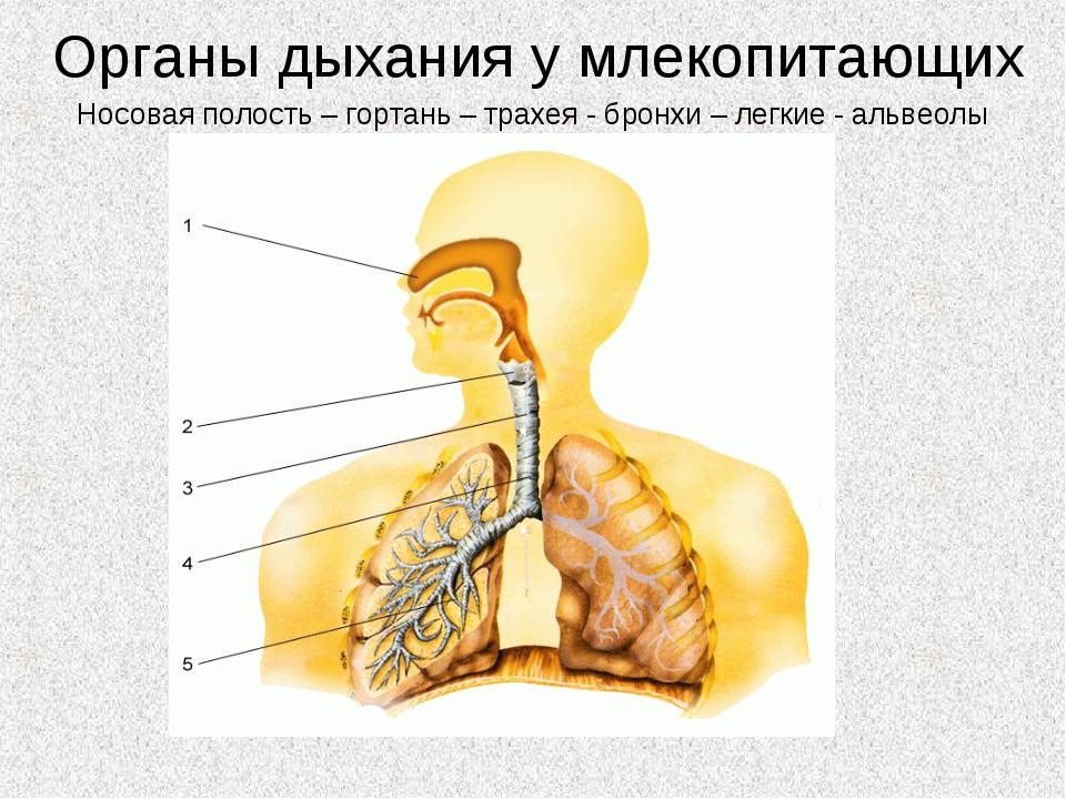 Органы дыхания у млекопитающих Носовая полость – гортань – трахея - бронхи –...