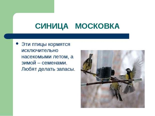 СИНИЦА МОСКОВКА Эти птицы кормятся исключительно насекомыми летом, а зимой –...