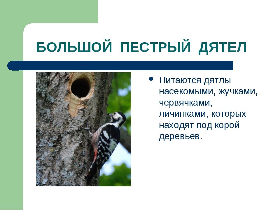БОЛЬШОЙ ПЕСТРЫЙ ДЯТЕЛ Питаются дятлы насекомыми, жучками, червячками, личинк...