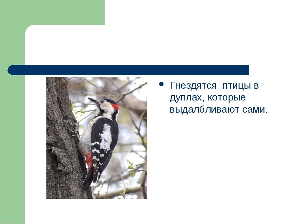 Гнездятся птицы в дуплах, которые выдалбливают сами.