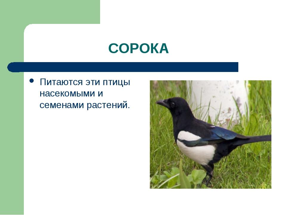 СОРОКА Питаются эти птицы насекомыми и семенами растений.