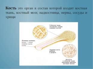 Кость это орган в состав которой входит костная ткань, костный мозг, надкост