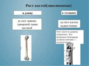 Рост костей(окостенение) в длину за счет замены хрящевой ткани костной в толщ