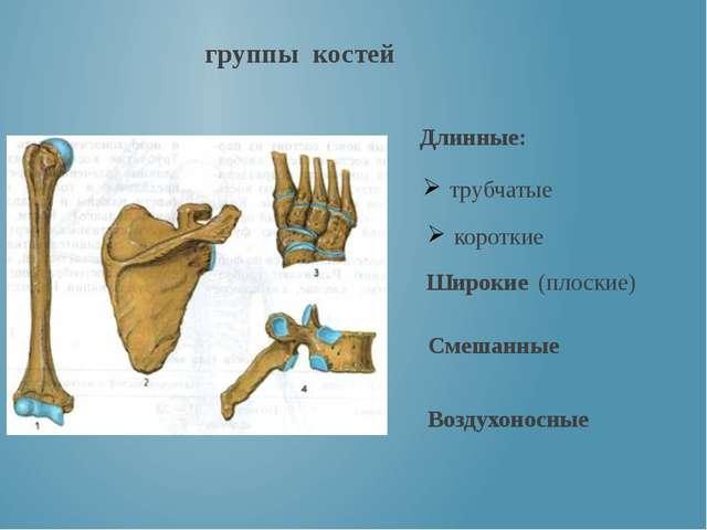 группы костей Длинные: короткие трубчатые Широкие (плоские) Смешанные Воздухо...