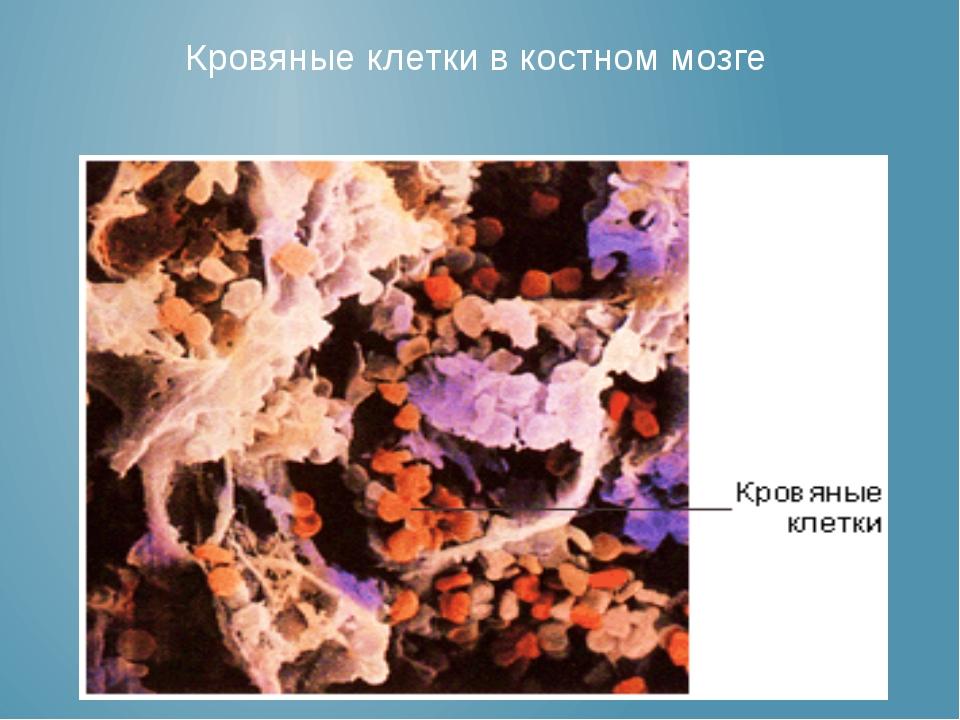 Кровяные клетки в костном мозге