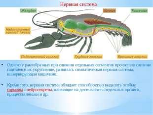 Нервная система Однако у ракообразных при слиянии отдельных сегментов произош