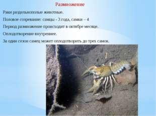Раки раздельнополые животные. Половое созревание:самцы - 3 года, самки – 4