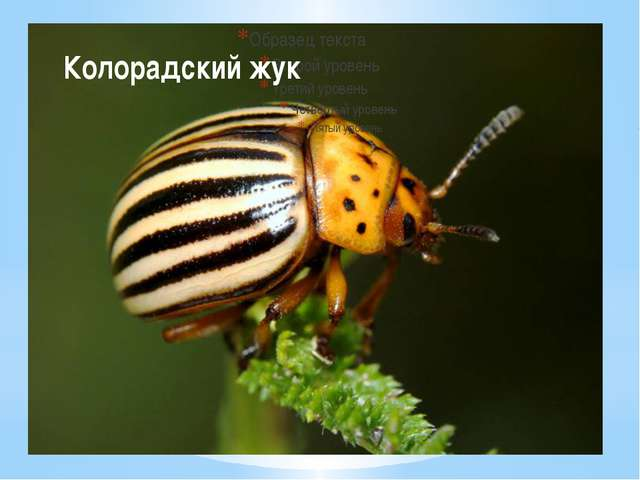 Животное №8 Колорадский жук