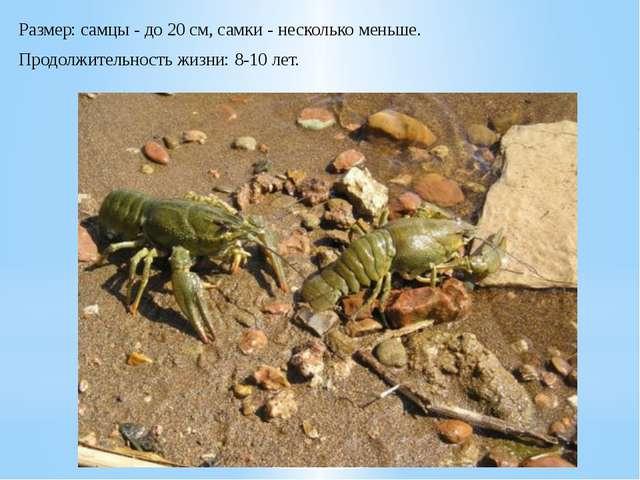 Размер:самцы - до 20 см, самки - несколько меньше. Продолжительность жизни:...