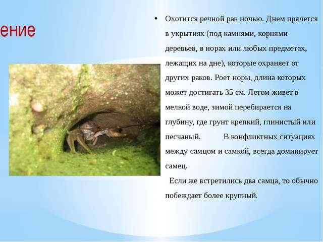 Охотится речной рак ночью. Днем прячется в укрытиях (под камнями, корнями дер...