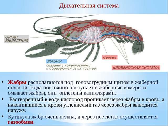 Дыхательная система Жабры располагаются под головогрудным щитом в жаберной по...