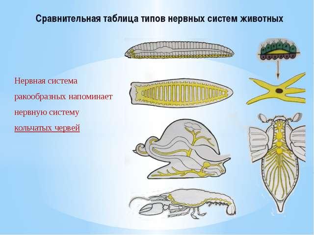 Сравнительная таблица типов нервных систем животных Нервная система ракообраз...