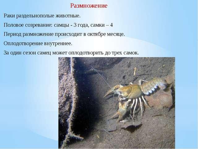 Раки раздельнополые животные. Половое созревание:самцы - 3 года, самки – 4...
