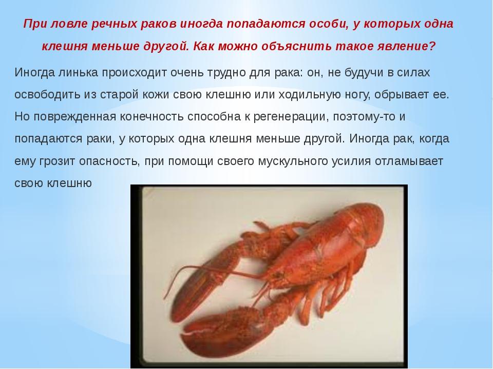 При ловле речных раков иногда попадаются особи, у которых одна клешня меньше...