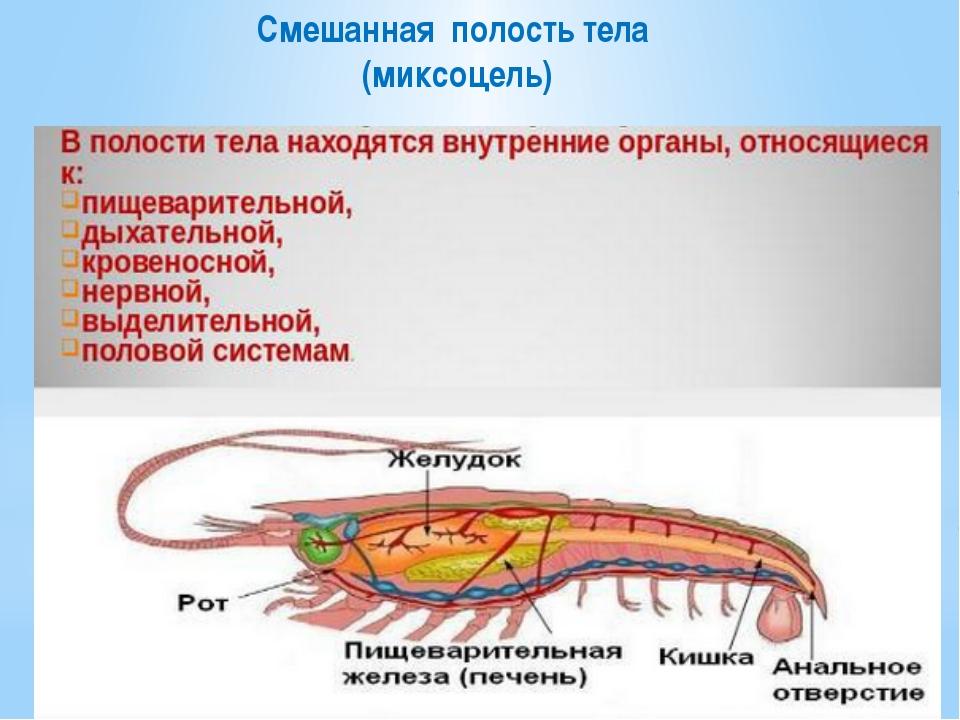 Смешанная полость тела (миксоцель)