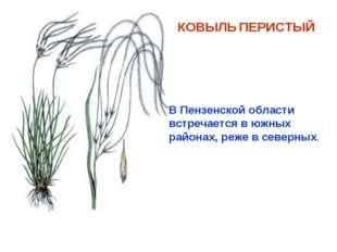 КОВЫЛЬ ПЕРИСТЫЙ В Пензенской области встречается в южных районах, реже в севе