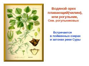 Водяной орех плавающий(чилим), или рогульник, Сем. рогульниковых Встречается