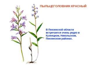 ПЫЛЬЦЕГОЛОВНИК КРАСНЫЙ В Пензенской области встречается очень редко в Кузнецк