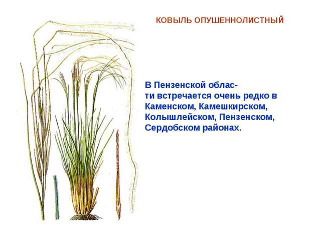КОВЫЛЬ ОПУШЕННОЛИСТНЫЙ В Пензенской облас- ти встречается очень редко в Камен...