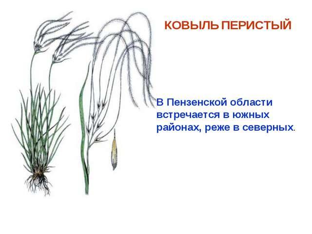 КОВЫЛЬ ПЕРИСТЫЙ В Пензенской области встречается в южных районах, реже в севе...