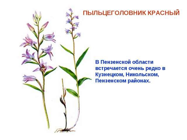 ПЫЛЬЦЕГОЛОВНИК КРАСНЫЙ В Пензенской области встречается очень редко в Кузнецк...