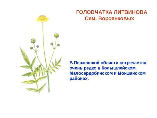 ГОЛОВЧАТКА ЛИТВИНОВА Сем. Ворсянковых В Пензенской области встречается очень...