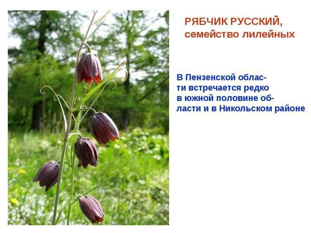 РЯБЧИК РУССКИЙ, семейство лилейных В Пензенской облас- ти встречается редко в...