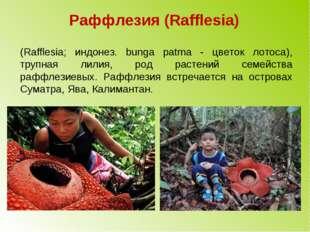 Раффлезия (Rafflesia) (Rafflesia; индонез. bunga patma - цветок лотоса), труп