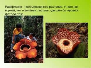 Раффлезия - необыкновенное растение. У него нет корней, нет и зелёных листьев