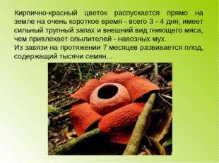 Кирпично-красный цветок распускается прямо на земле на очень короткое время -