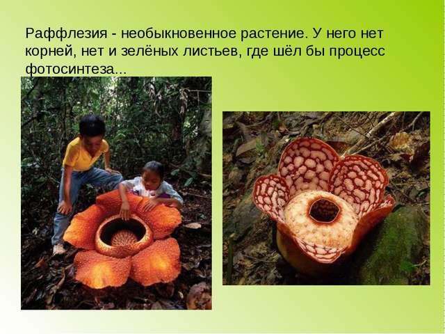 Раффлезия - необыкновенное растение. У него нет корней, нет и зелёных листьев...