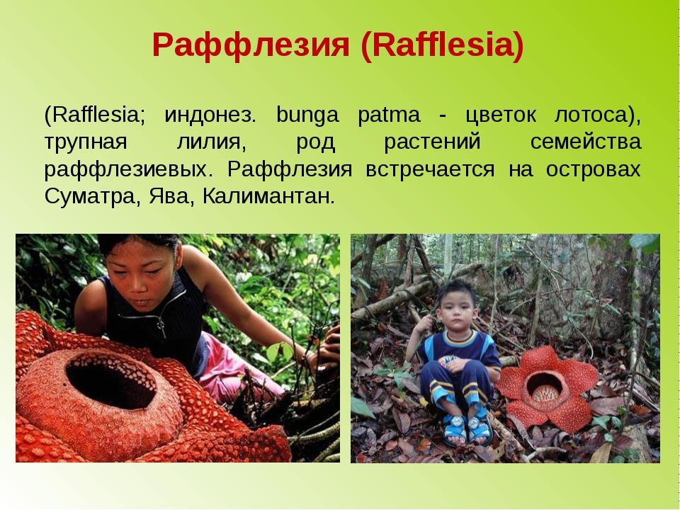 Раффлезия (Rafflesia) (Rafflesia; индонез. bunga patma - цветок лотоса), труп...