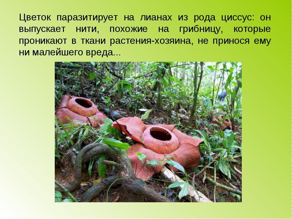 Цветок паразитирует на лианах из рода циссус: он выпускает нити, похожие на г...