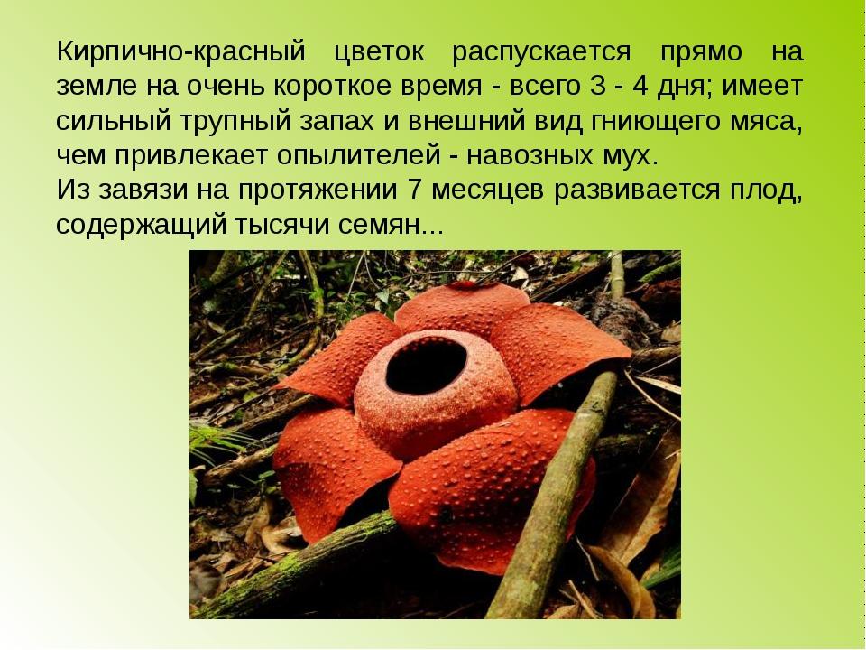 Кирпично-красный цветок распускается прямо на земле на очень короткое время -...