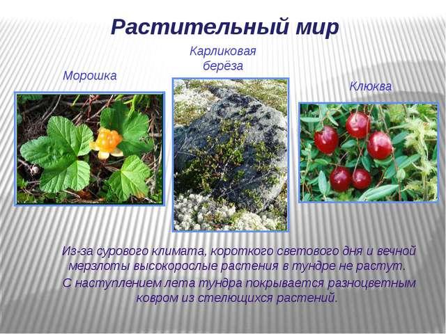 Растительный мир Из-за сурового климата, короткого светового дня и вечной мер...