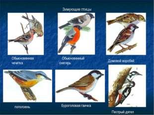 Зимующие птицы Обыкновенная чечетка Пестрый дятел Домовой воробей Буроголовая