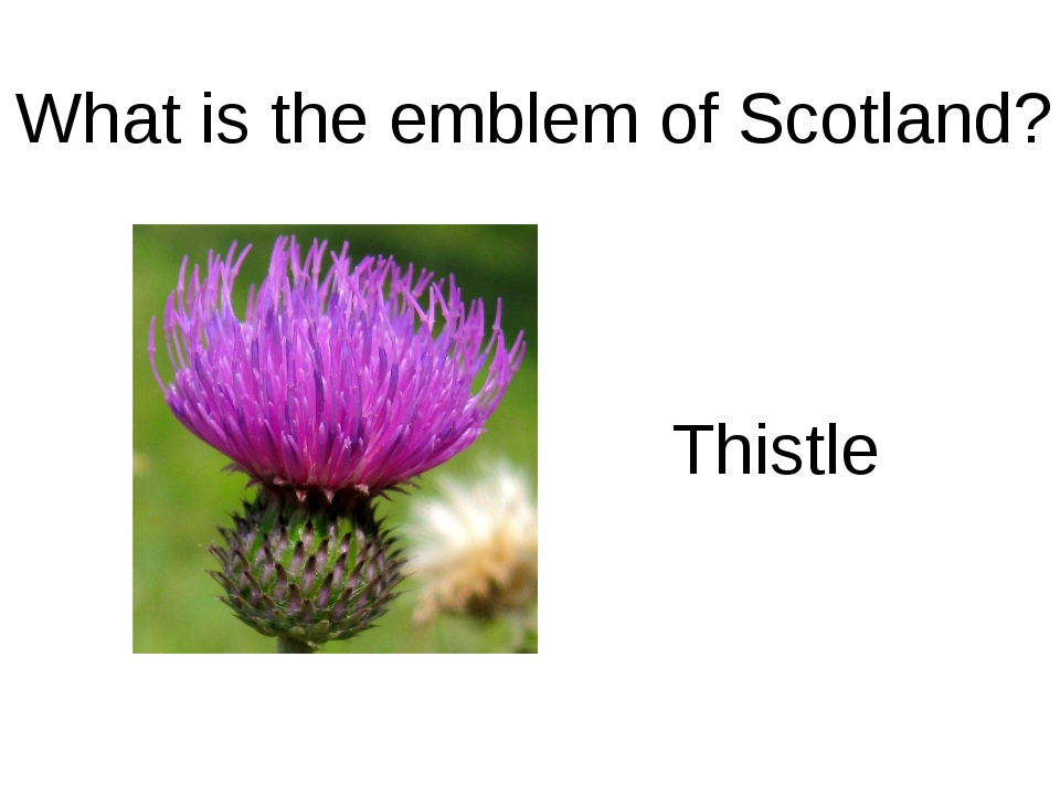 What is the emblem of Scotland? Thistle