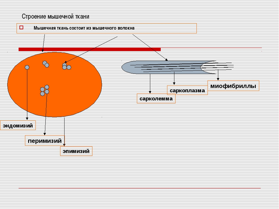 Строение мышечной ткани Мышечная ткань состоит из мышечного волокна