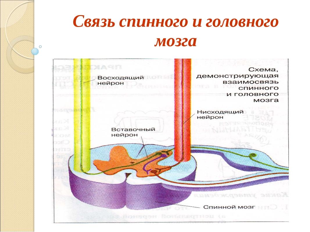 Связь спинного и головного мозга