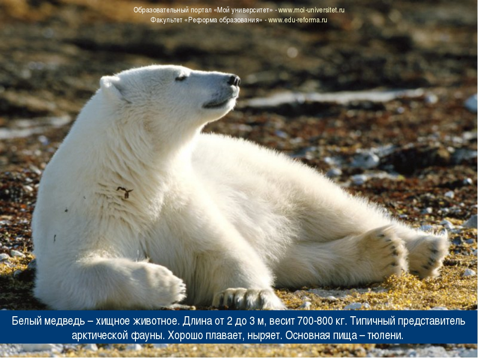 Белый медведь – хищное животное. Длина от 2 до 3 м, весит 700-800 кг. Типичны...